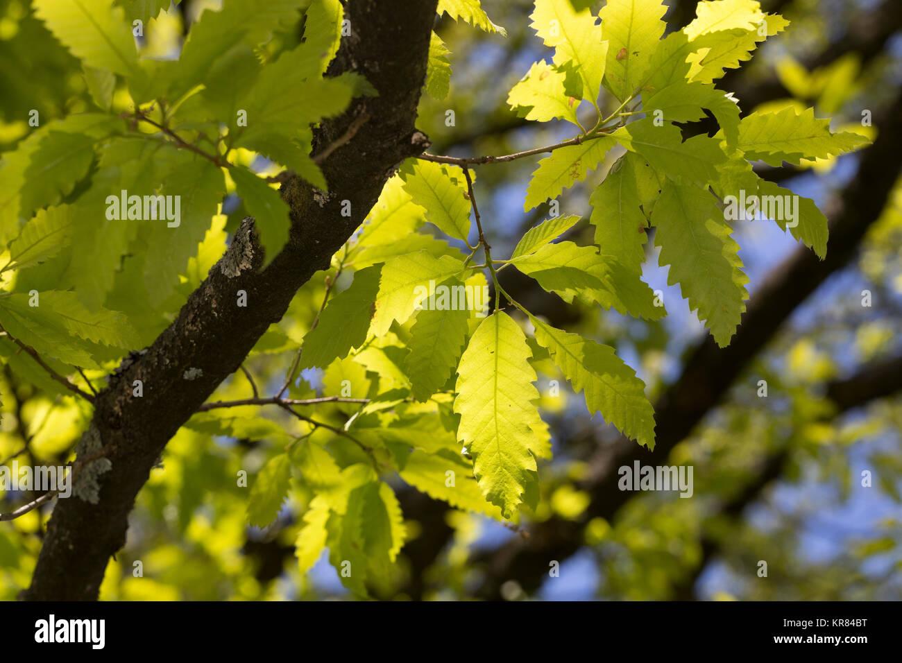 Libanon-Eiche, Libanoneiche, Quercus libani, Quercus vesca, Lebanon oak, Le chêne du Liban - Stock Image