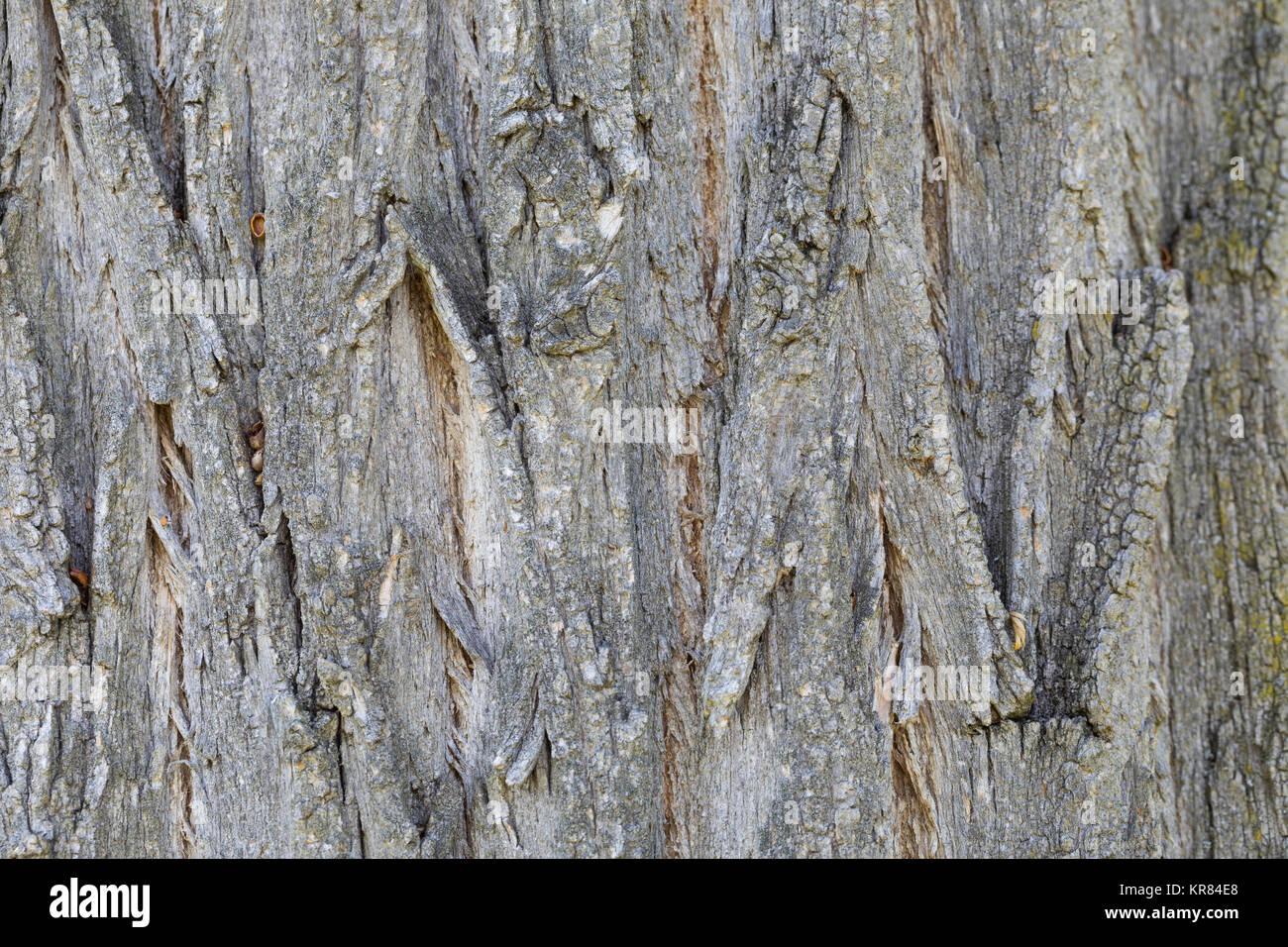 Robinie, Gewöhnliche Scheinakazie, Schein-Akazie, Falsche Akazie, Rinde, Borke, Stamm, Baumstamm, Robinia pseudoacacia, - Stock Image