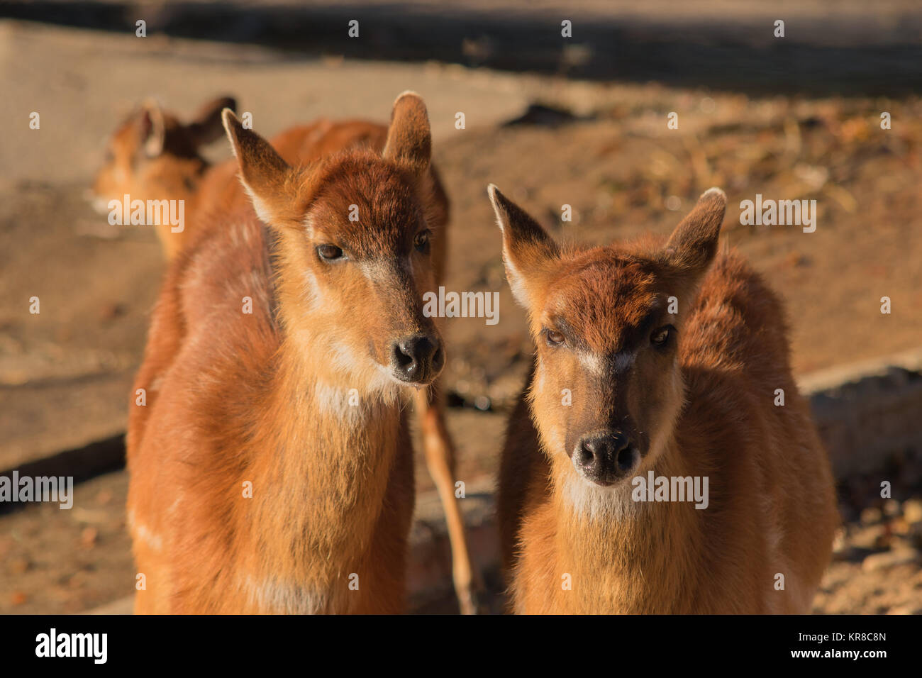 Pair of brown antelopes in the sand looking at camera - Stock Image