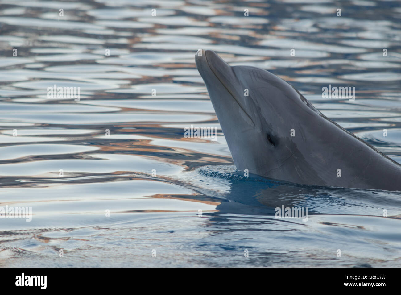 Portrait of common dolphin while watching and bathe in the blue water Stock Photo
