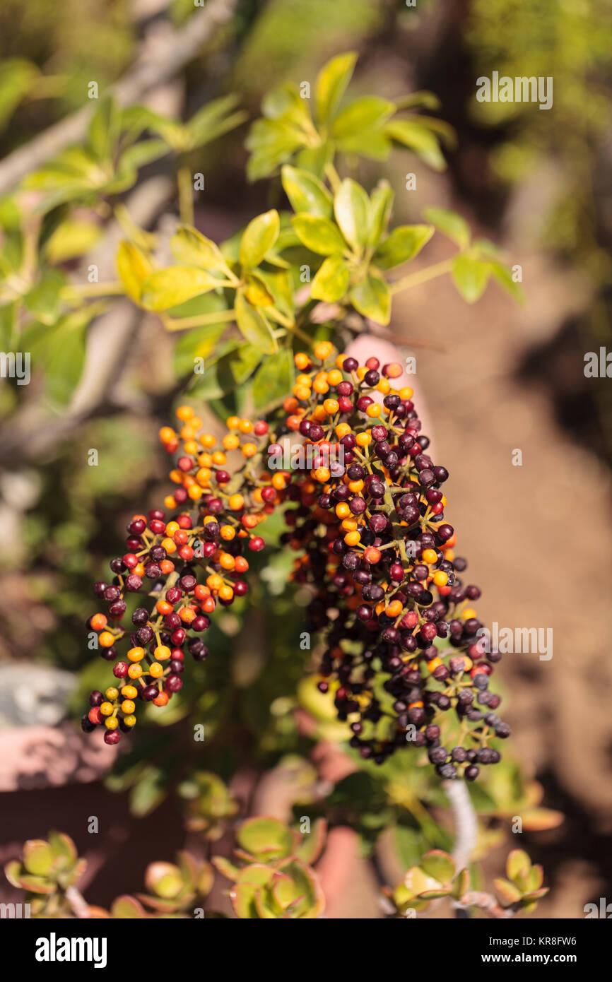 Colorful red, purple, yellow and orange berries on a Sambucus elderberry bush - Stock Image