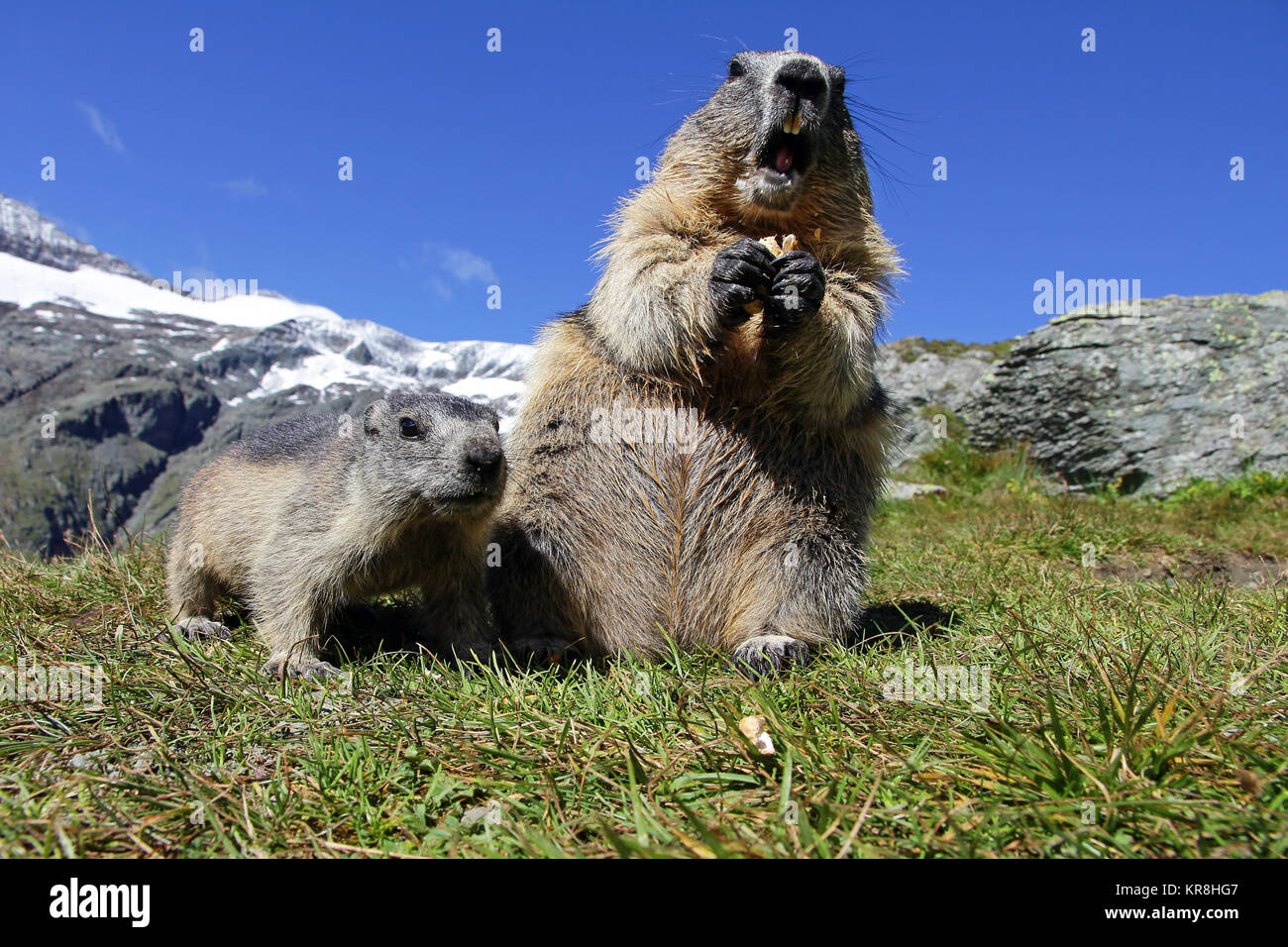 marmot family in the mountains. a female marmot with cub Stock Photo