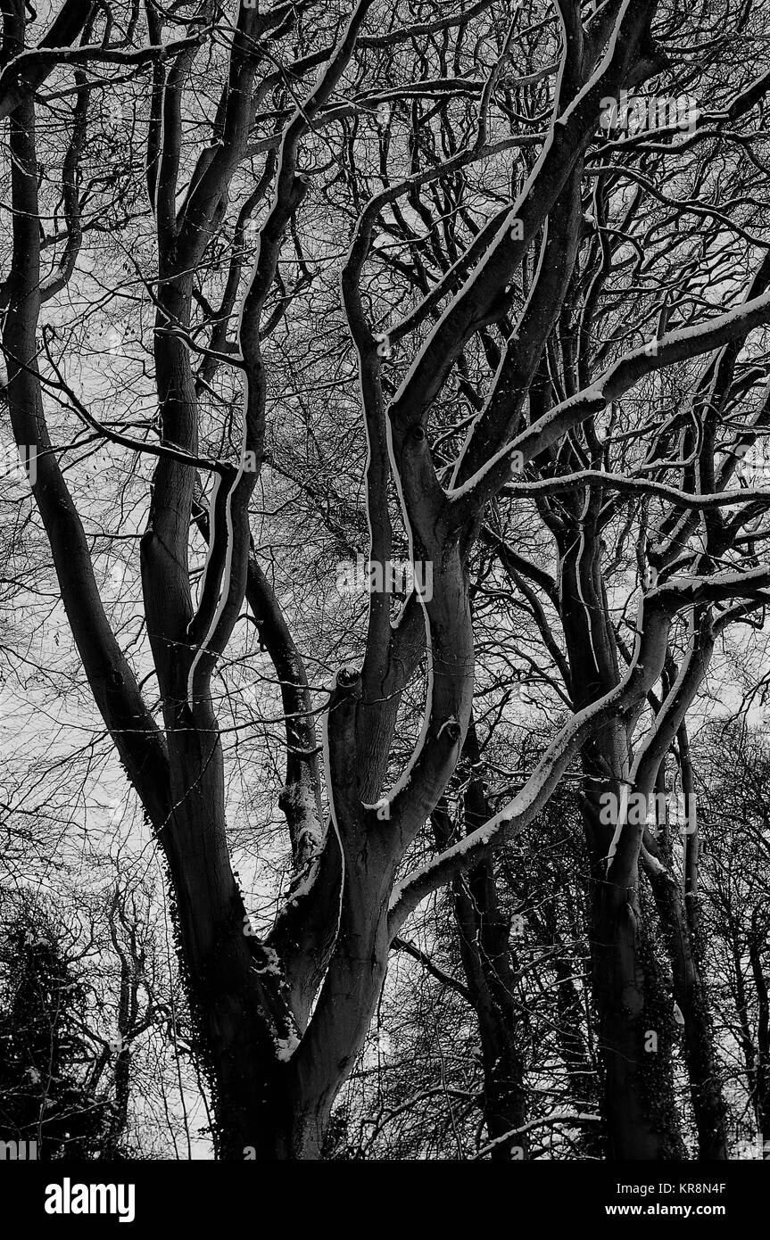 Winter beech tree with snowy branches, Gloucestershire, England - Stock Image