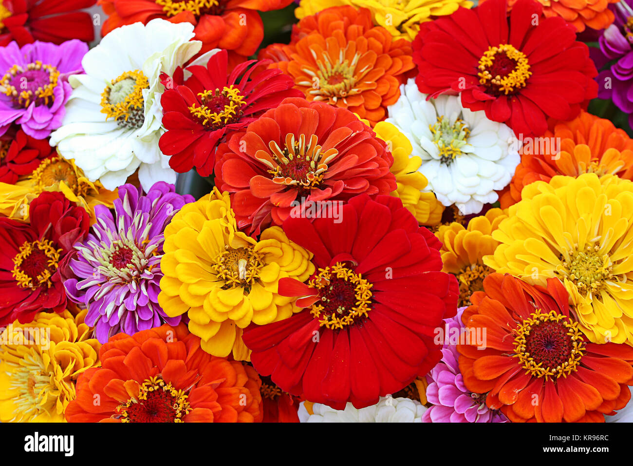 colorful summer bouquet with zinnias - Stock Image