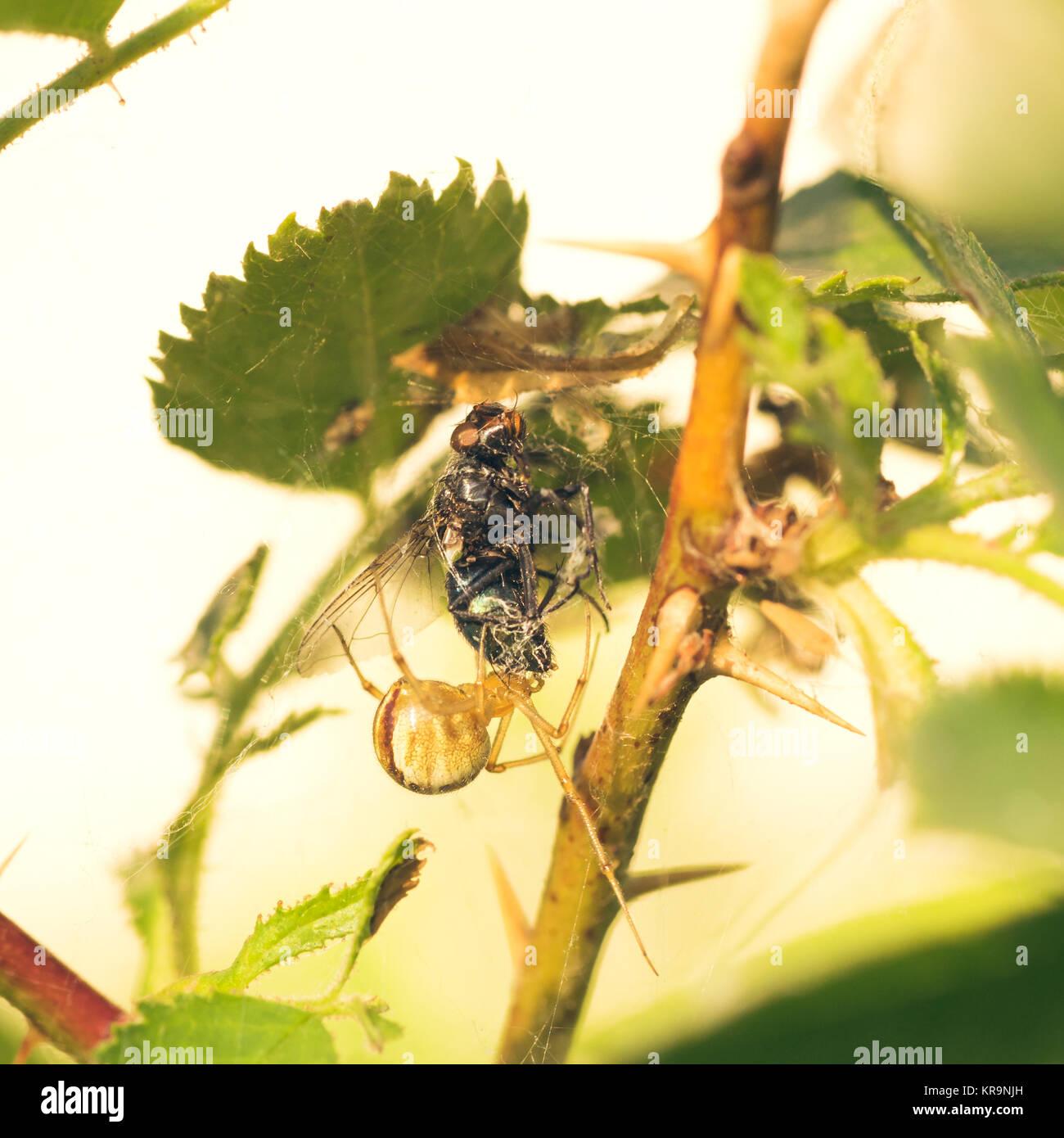Cobweb Spider Eating Fly - Stock Image
