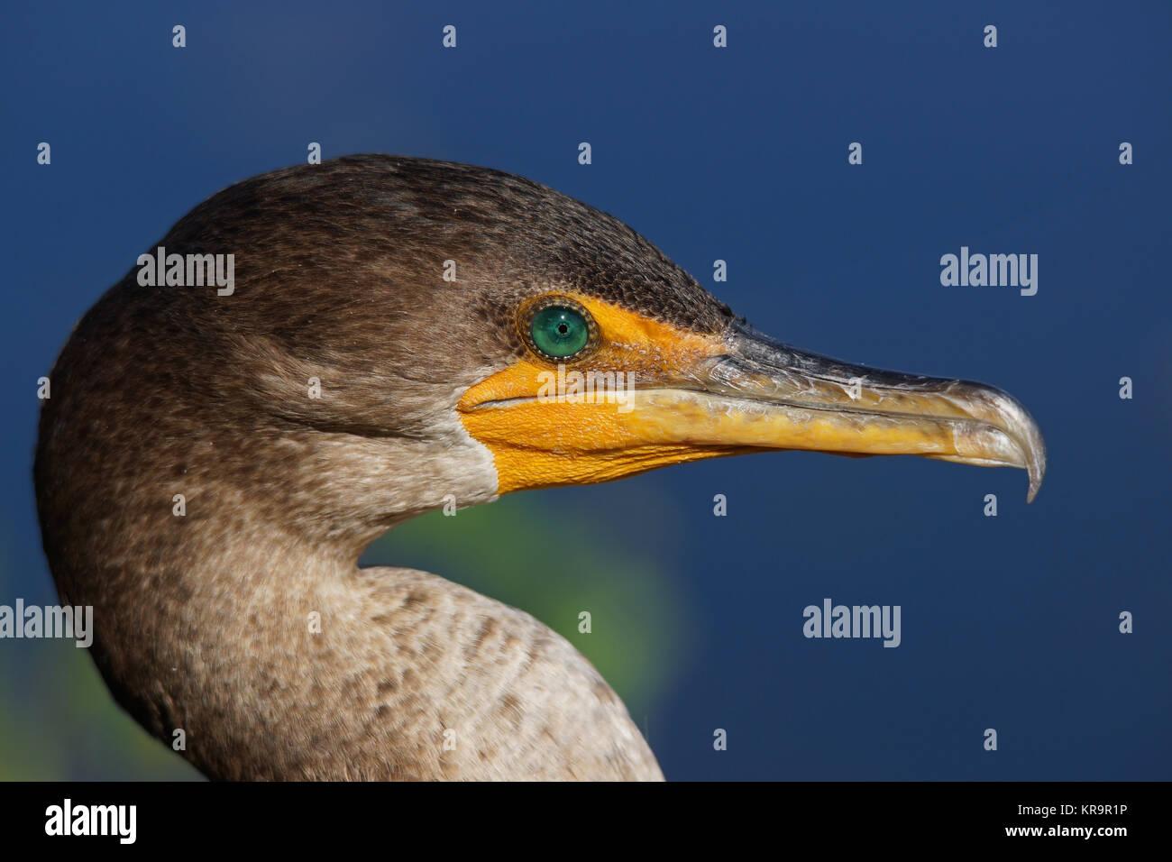 kormoran - [phalacrocorax carbo] - Stock Image