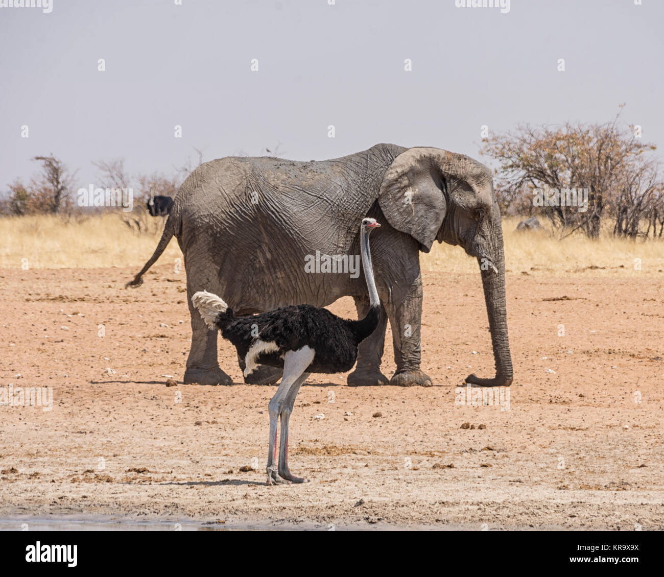 An Ostrich and an Elephant at a watering hole in the Namibian savanna Stock Photo