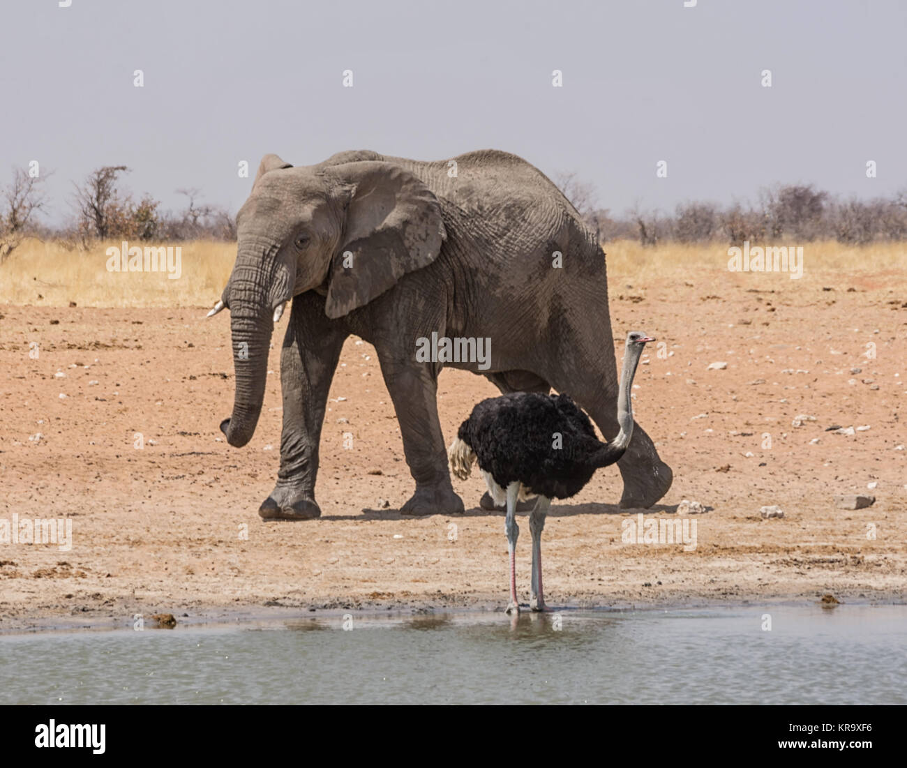 An Ostrich and an Elephant at a watering hole in the Namibian savanna - Stock Image
