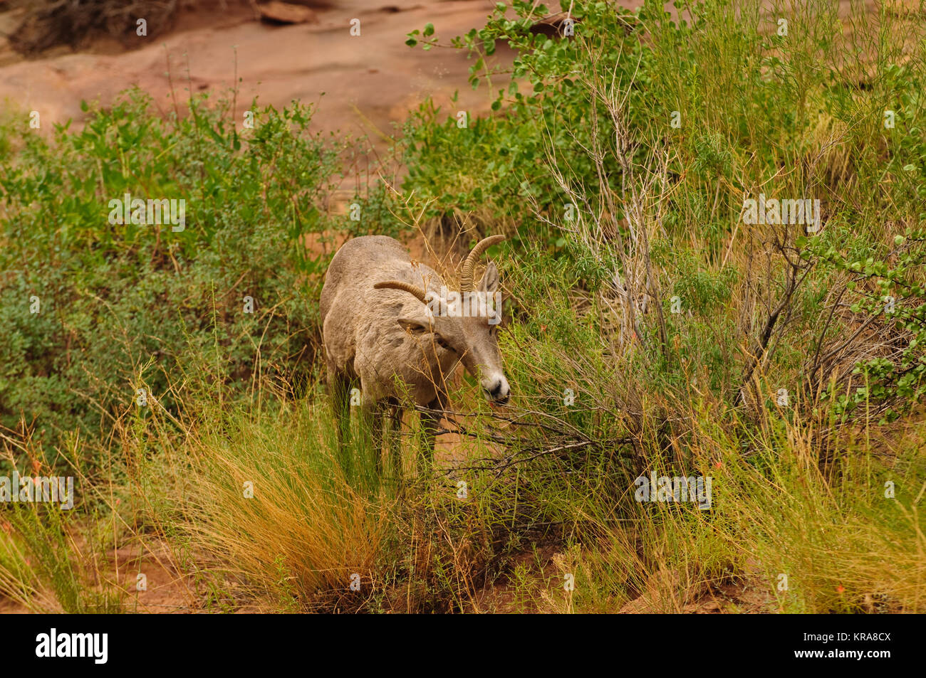 Rocky Mountain sheep in Cedar breaks National Park, utah - Stock Image