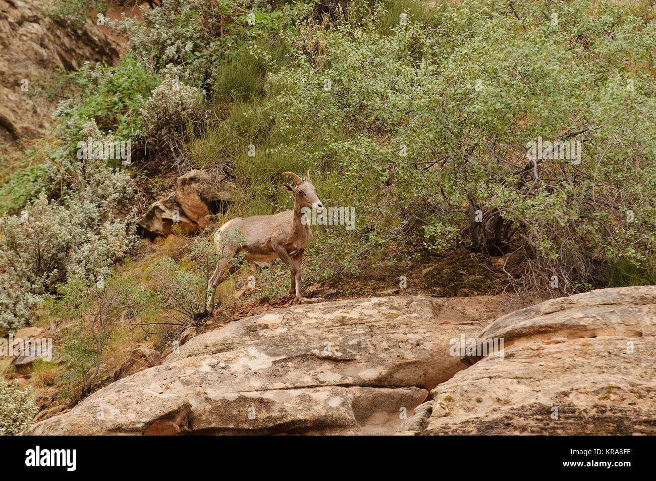 Rocky Mountain sheep (Ovis canadensis) in Cedar breaks National Park, Utah, USA - Stock Image