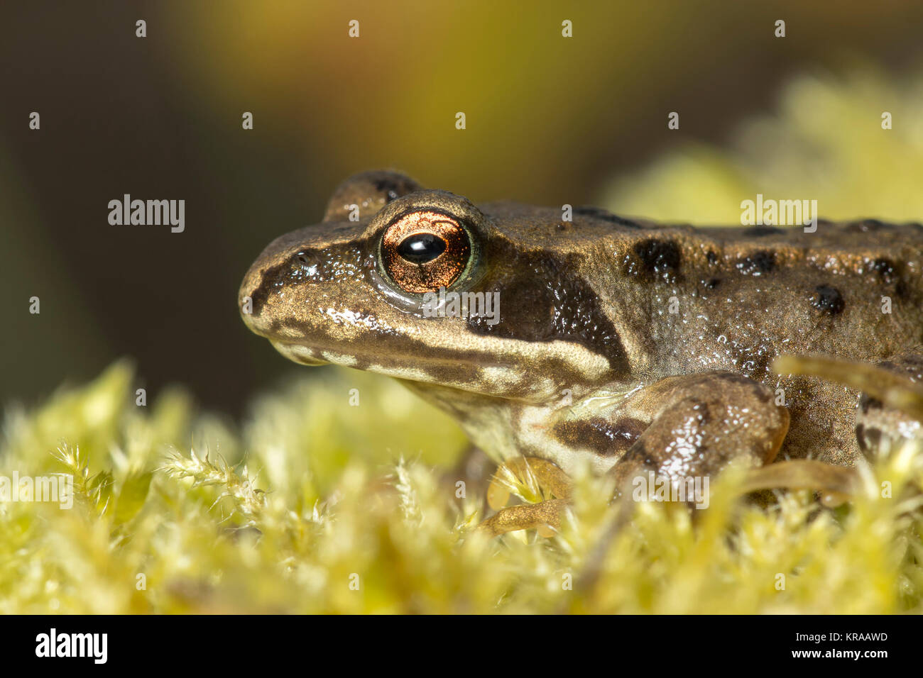 Common Frog (Rana temporaria) resting on a clump of moss on a tree stump. Thurles, Tipperary, Ireland. - Stock Image