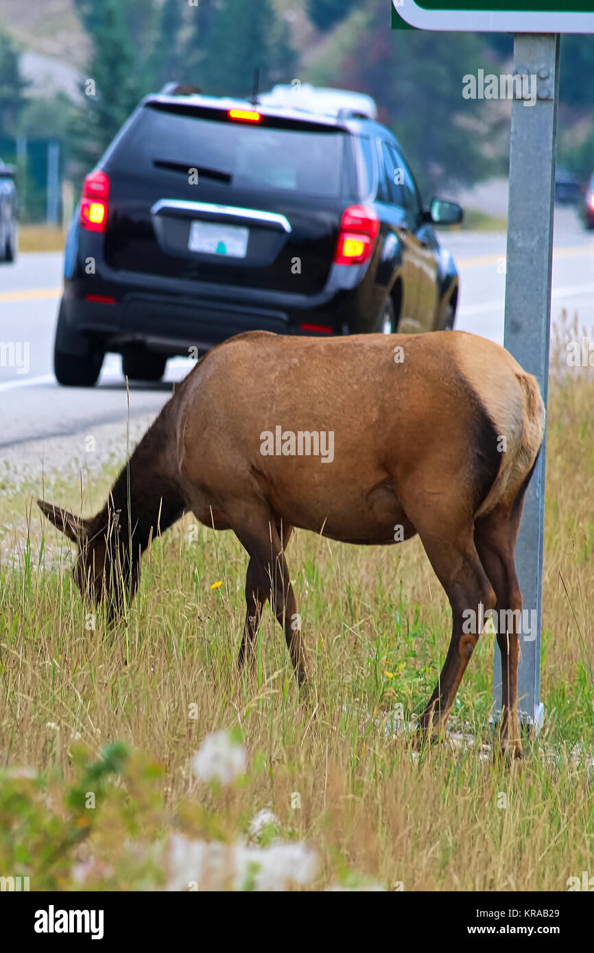 A female elk grazing extremely close to a busy highway. - Stock Image