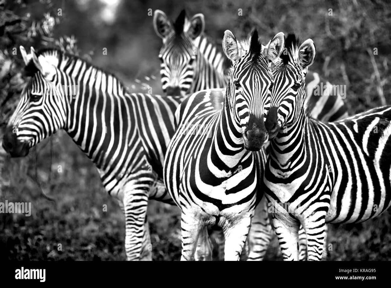 Family of a wild African zebras - Stock Image