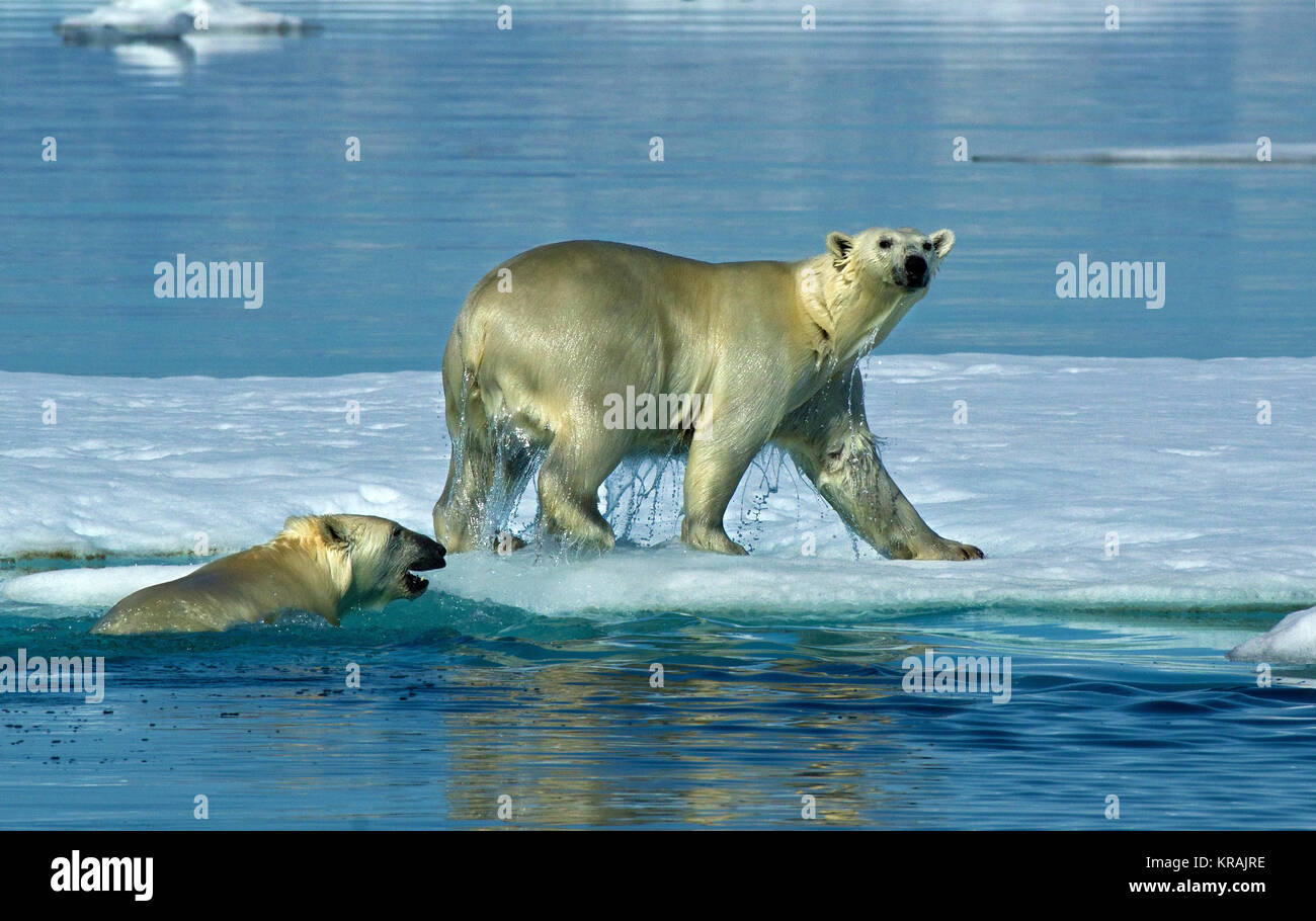 Two Polar Bears - one in water, the other on ice, Scoresby Sound, Greenland, summer, 2017 - Stock Image