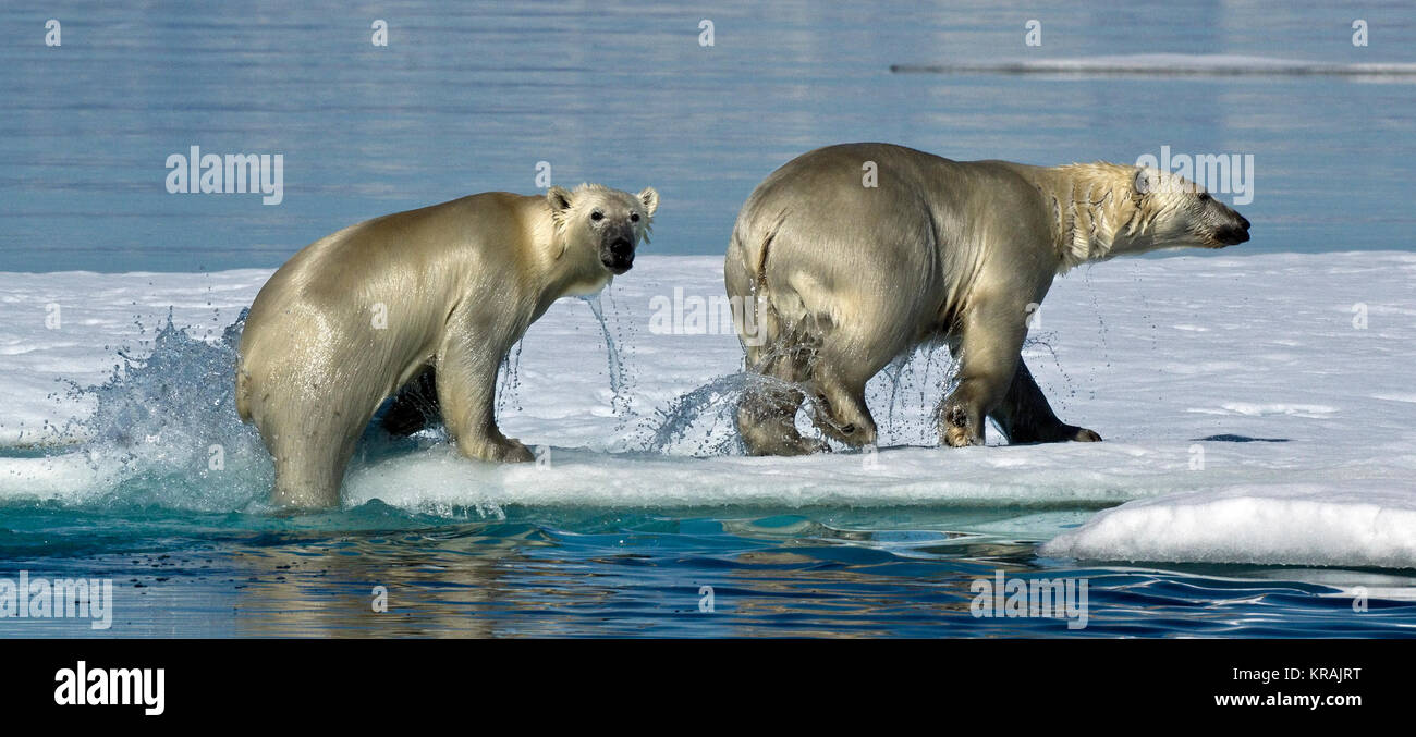 Polar Bears Climbing out of the Water onto Ice, Scoresby Sound, Greenland, summer 2017 - Stock Image