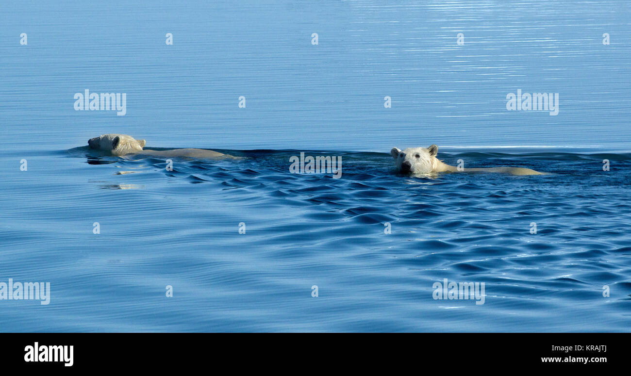 Two Polar Bears Swimming in Scoresby Sound, Greenland, summer 2017 - Stock Image