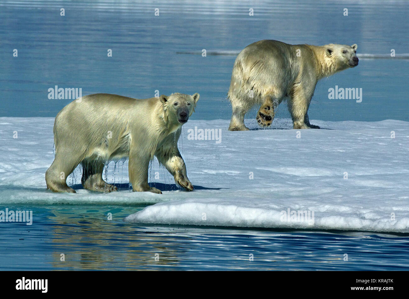 Two polar bears on Ice, Scoresby Sound, Greenland, summer 2017 - Stock Image