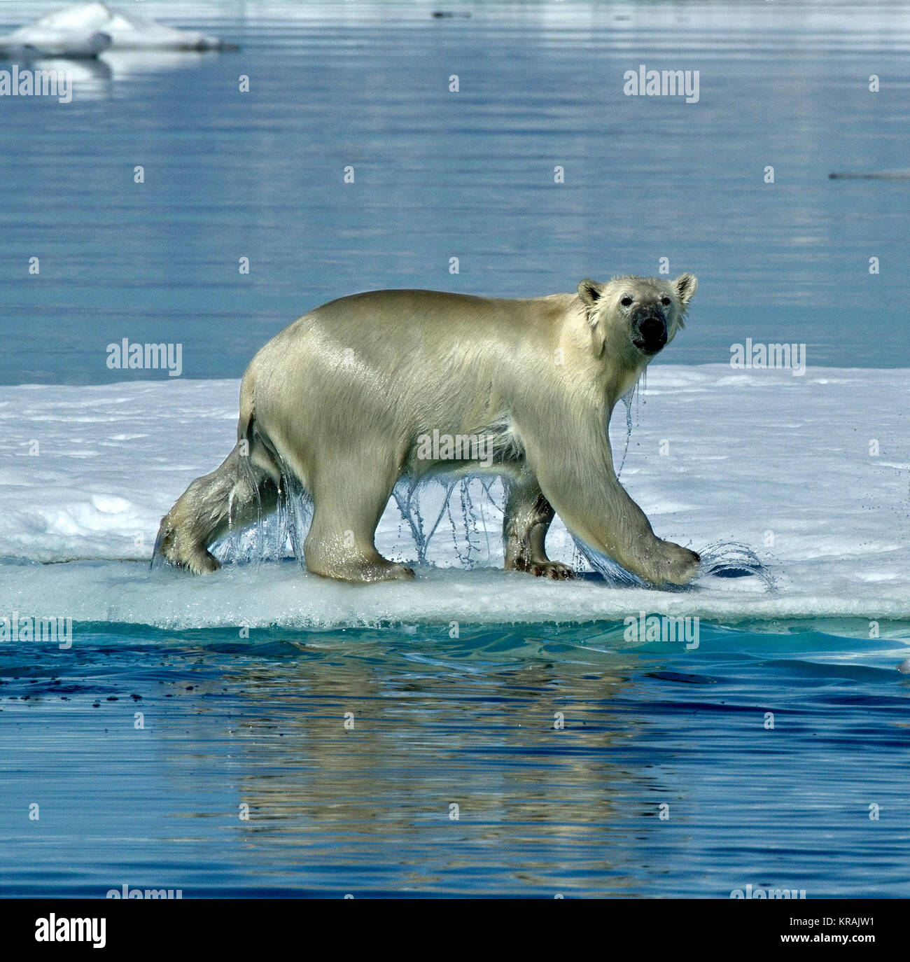 Polar Bear walking on floating ice, Scoresby Sound, Greenland, summer 2017.  The Polar Bear is dripping a lot of - Stock Image