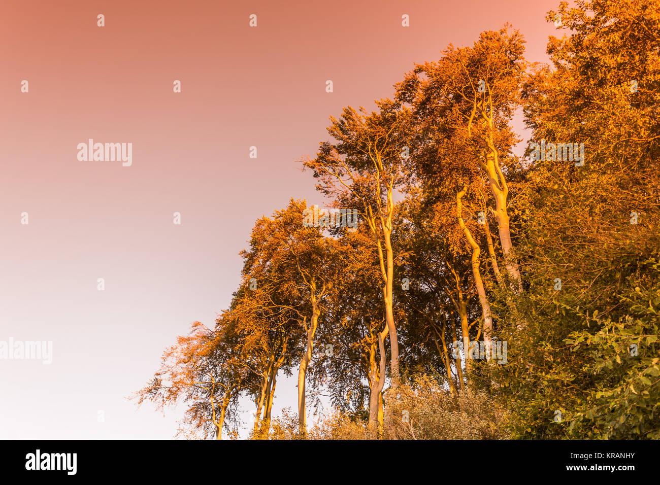 coastal forest nienhagen - Stock Image