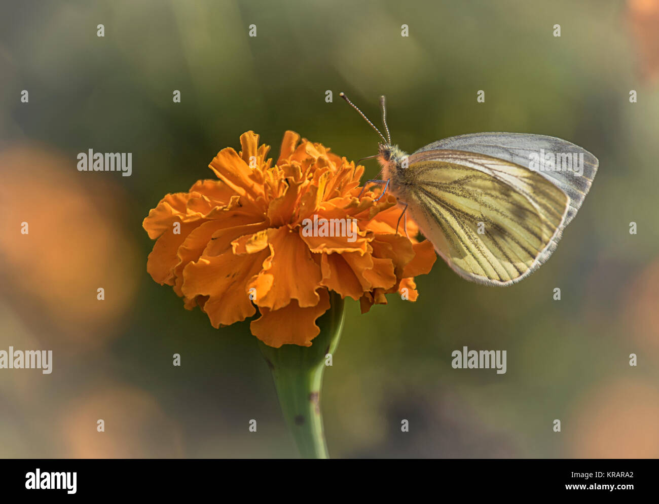 green core weisssling on carnation - Stock Image