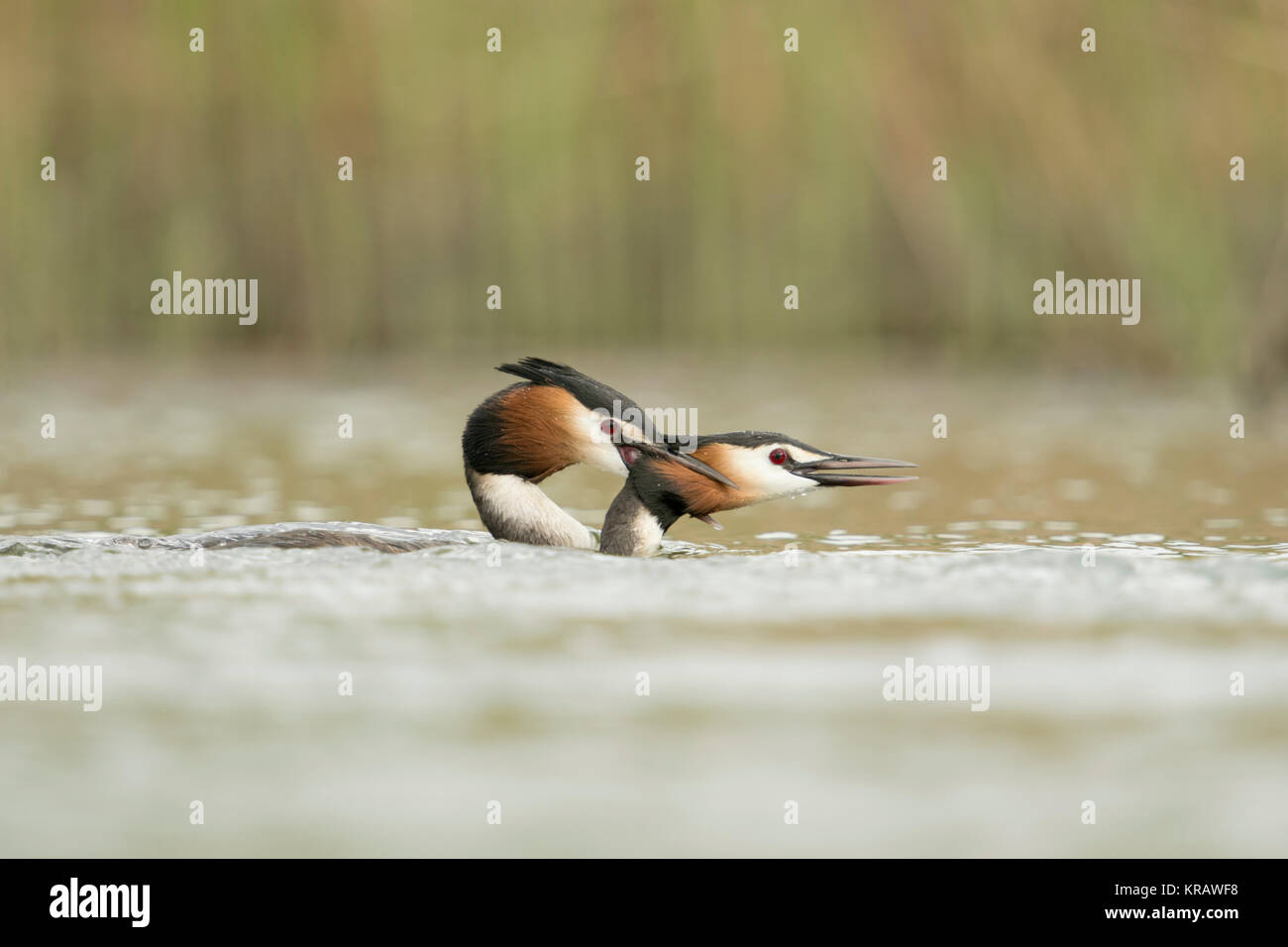 Great Crested Grebes / Haubentaucher ( Podiceps cristatus ) biting each other, territorial behaviour, attacking, - Stock Image