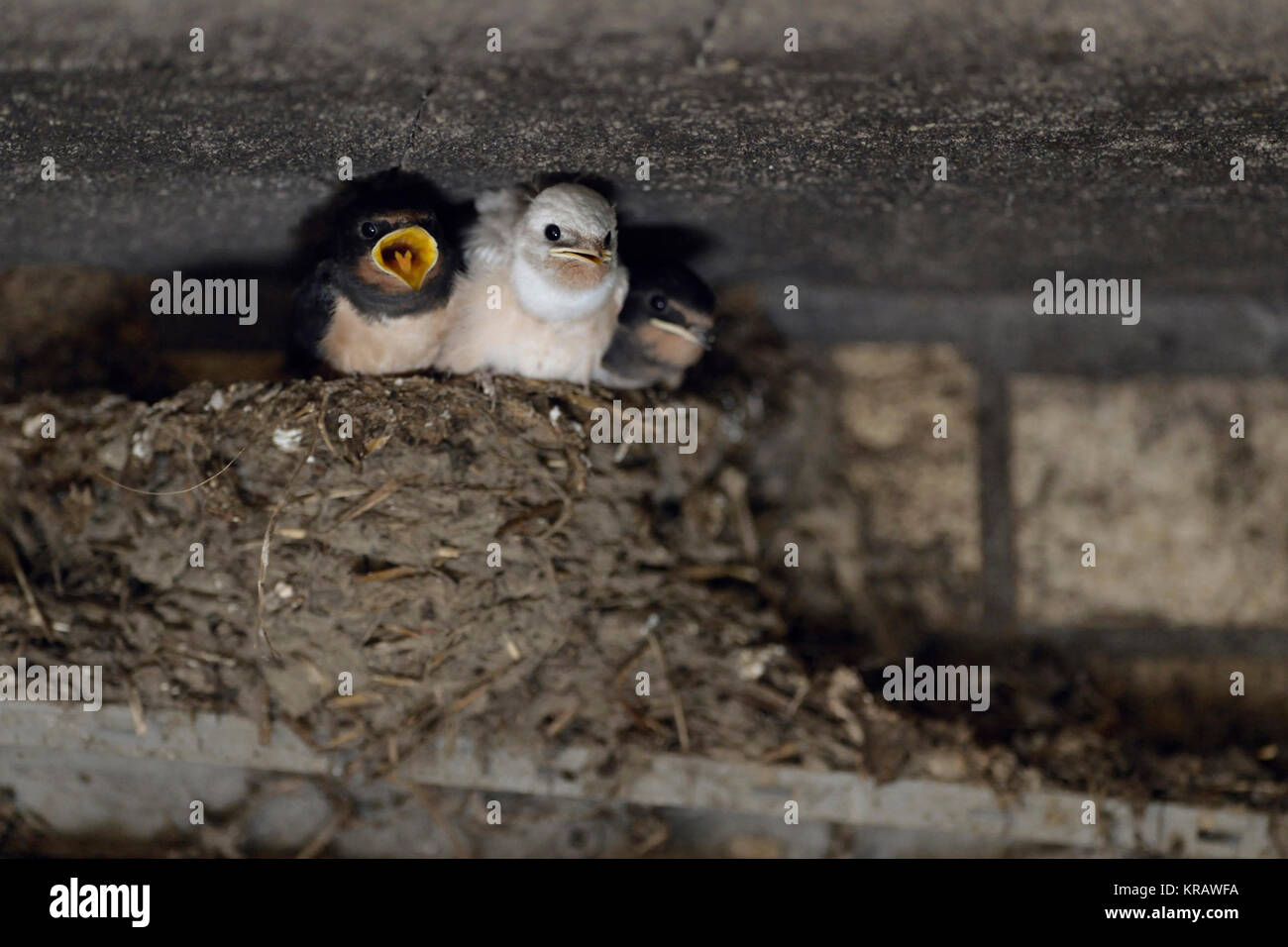 Barn Swallow / Swallows ( Hirundo rustica ), begging chicks in nest, almost fledged, one with white plumage (gen - Stock Image