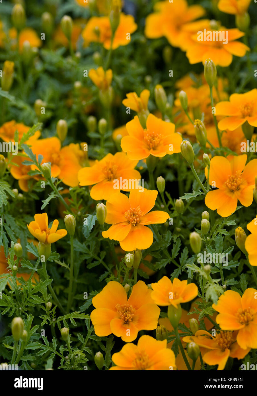Tagetes patula flowers. French marigolds in the garden. - Stock Image