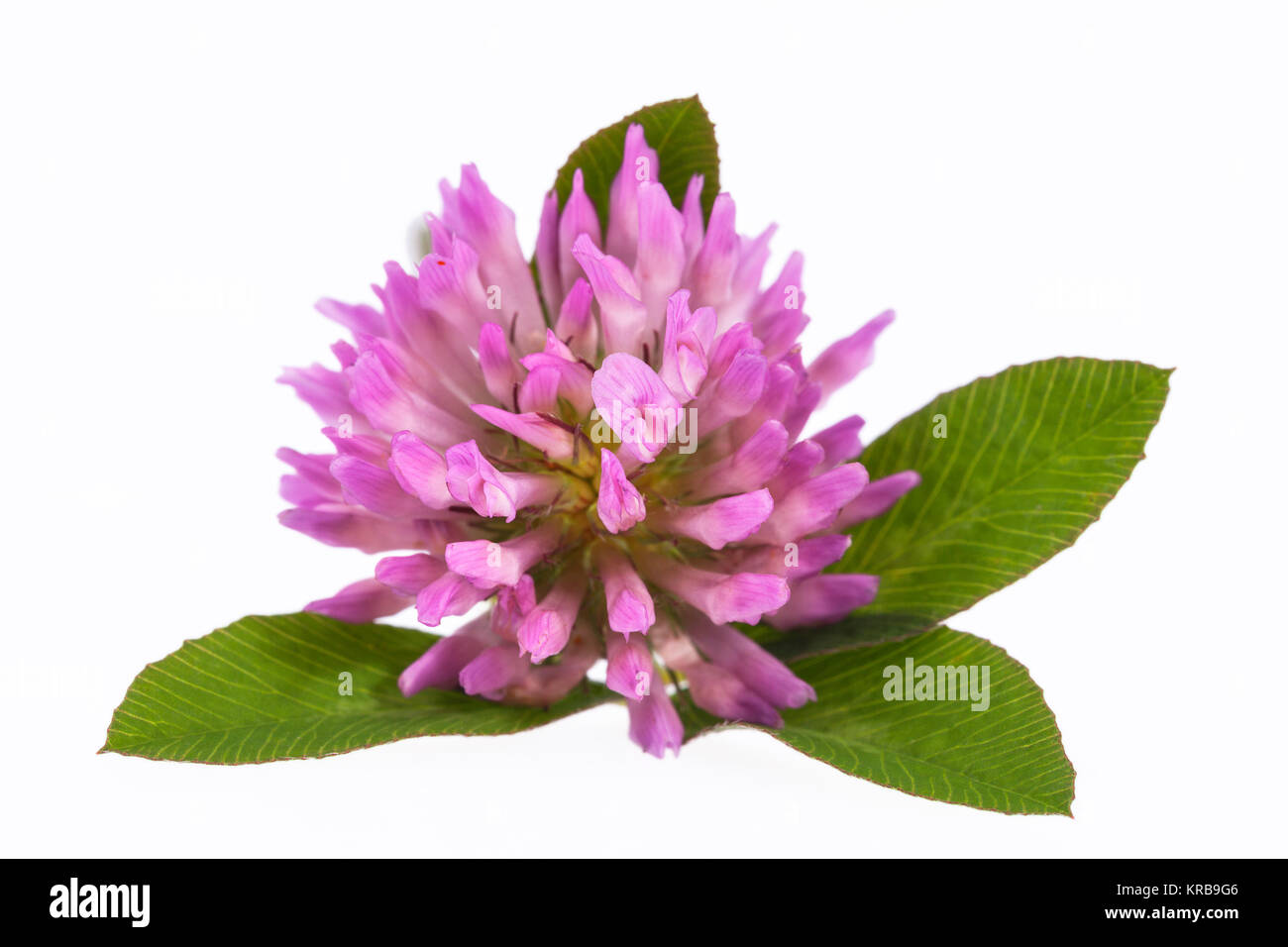 Single Flower Of Pink Clover Isolated On White Background Close Up