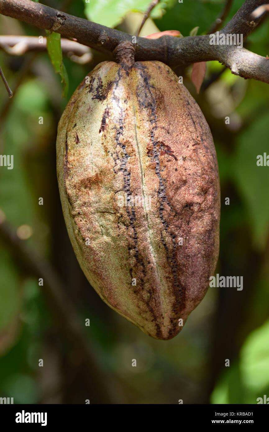 cocoa pod - Stock Image