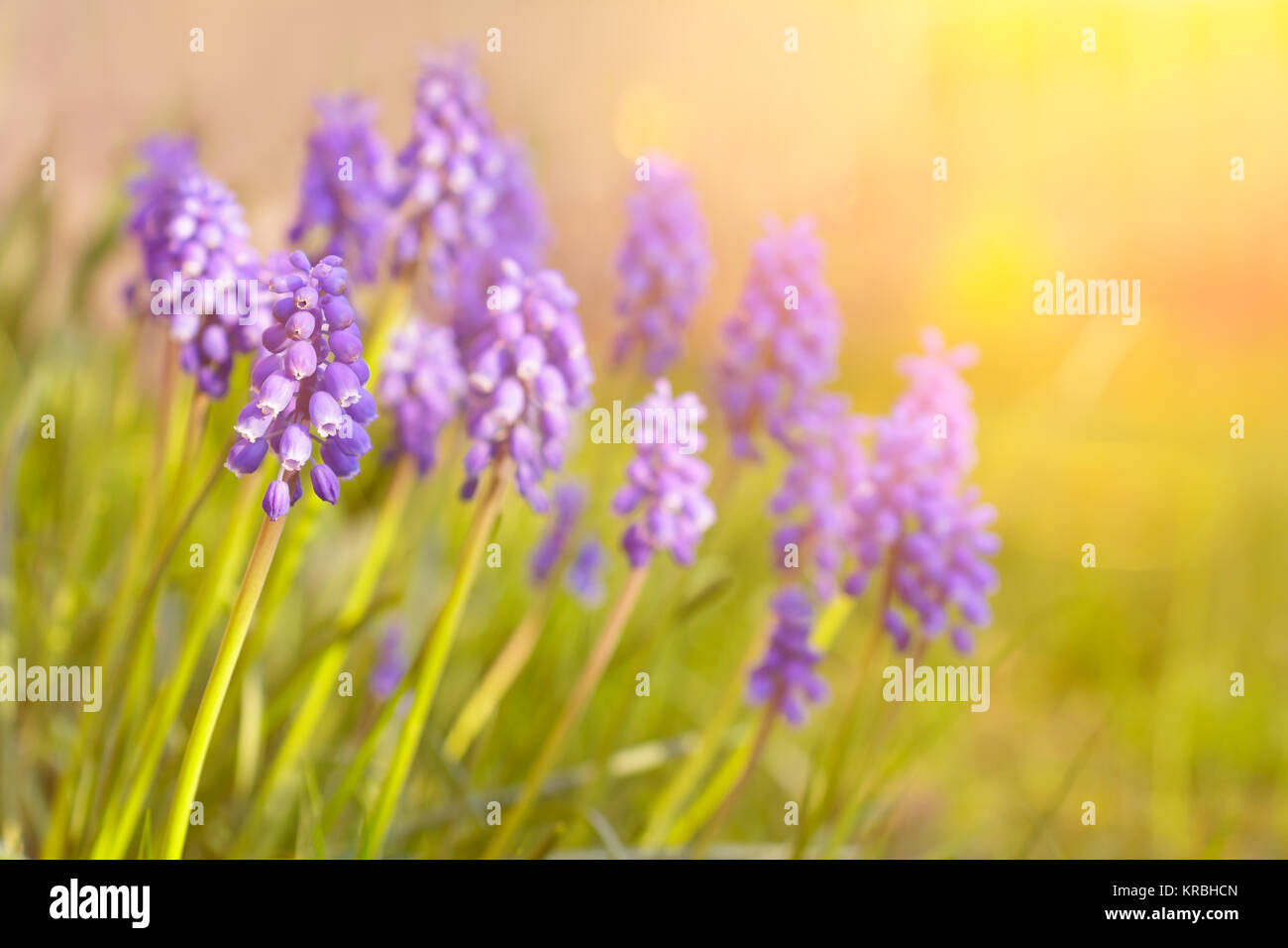 muscari grape hyacinth flowers garden - Stock Image