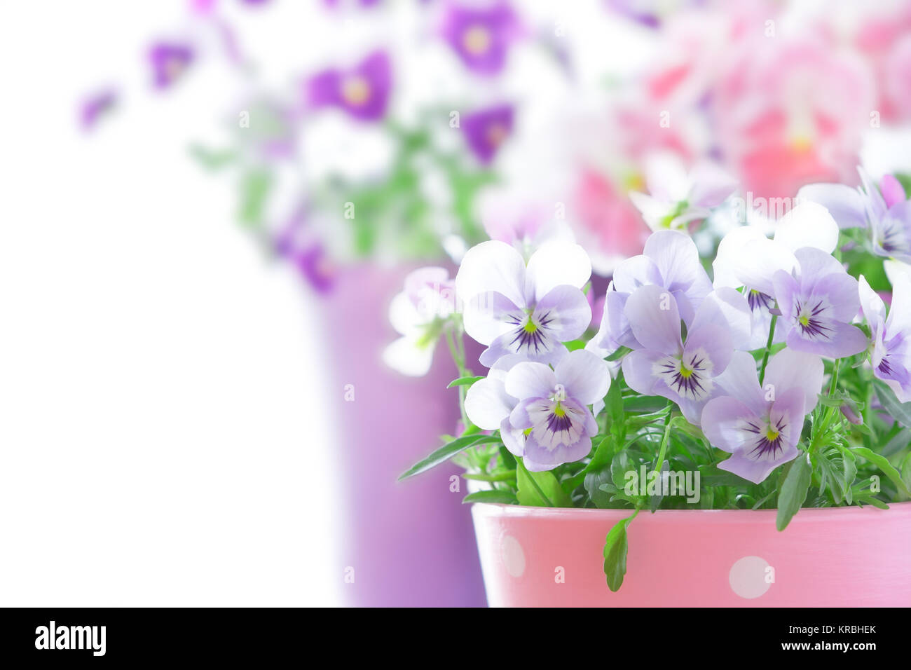 purple violet pansies red background Stock Photo