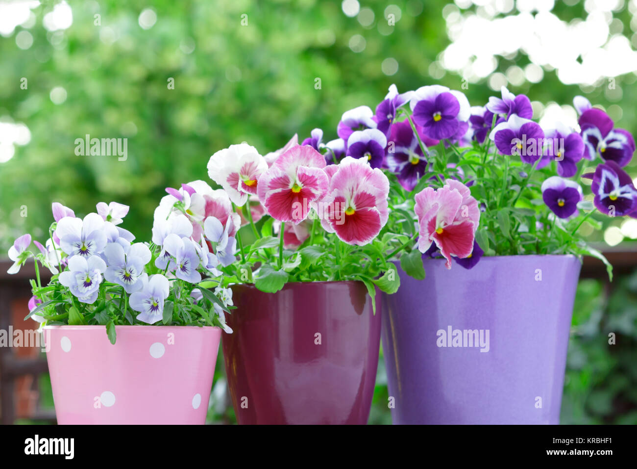 purple lilac red pansies pots balcony - Stock Image