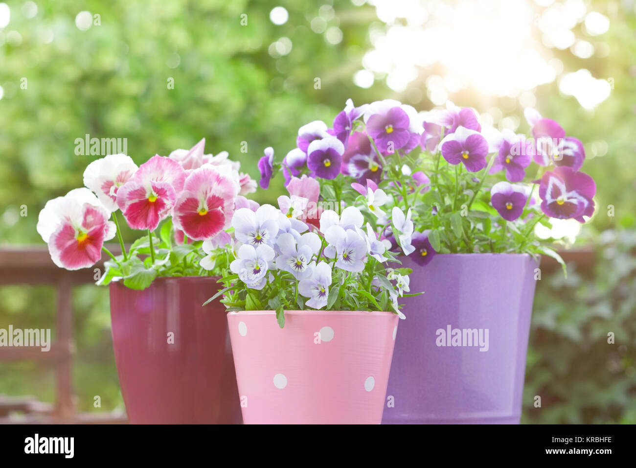 purple lilac red pansies pots balcony Stock Photo