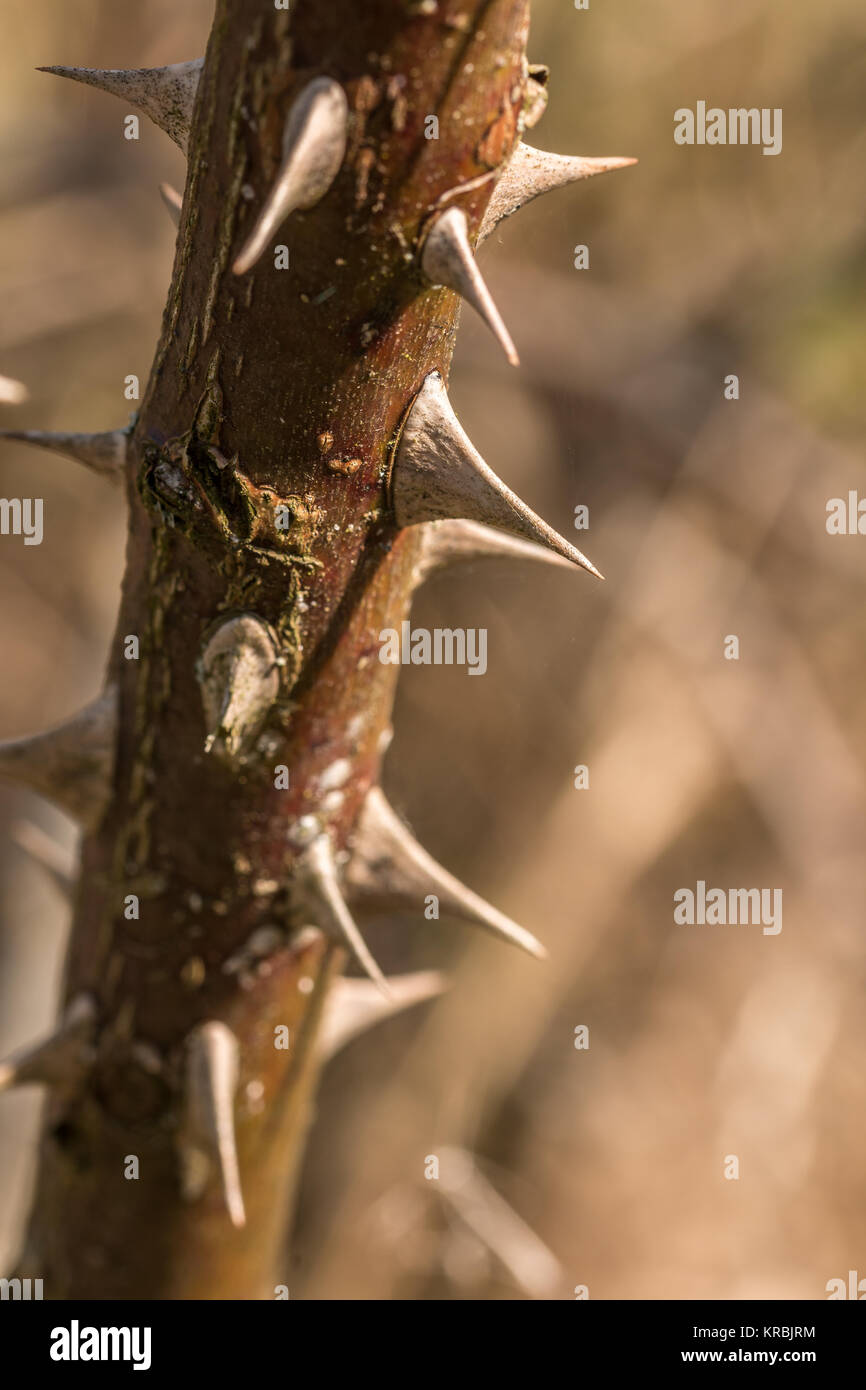 Sharp spines on a big dry branch - Stock Image