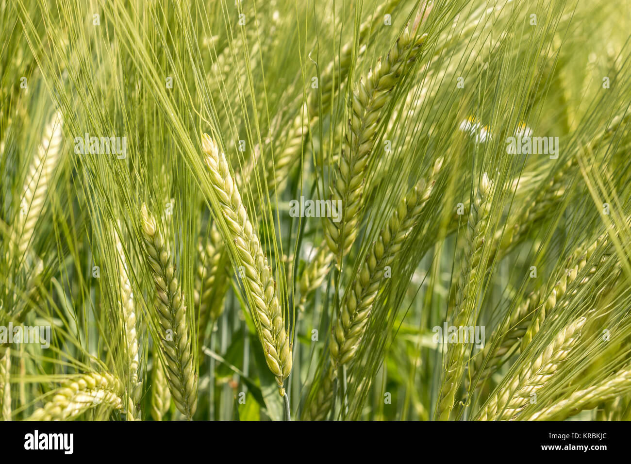 Big fields of high and green grain and forest in the background - Stock Image