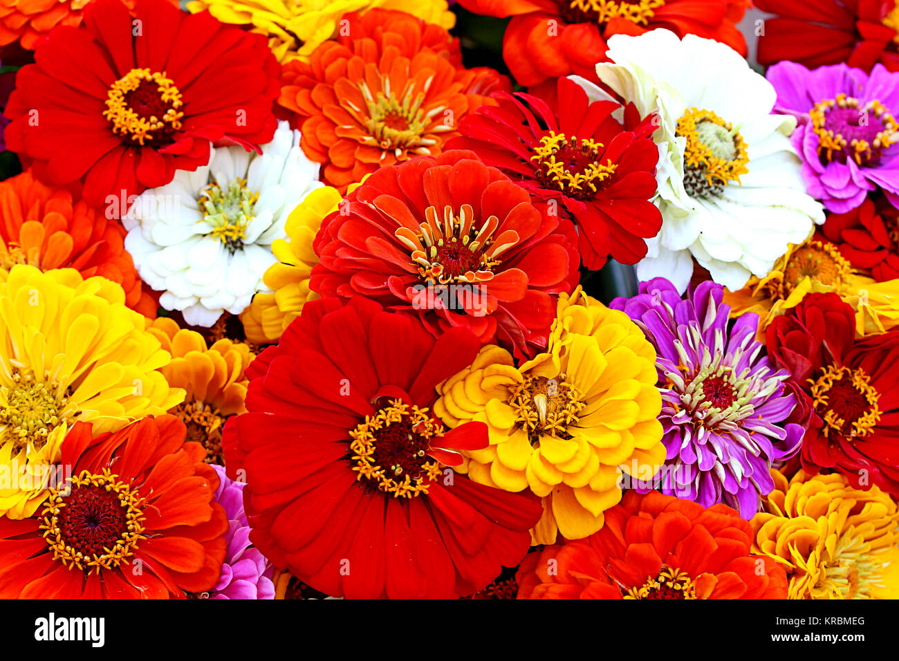 colorful bouquet of zinnias - Stock Image