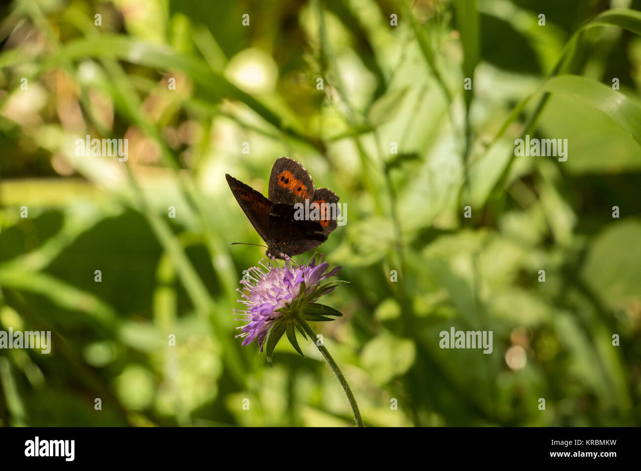 Butterfly on violet flower on the green meadow - Stock Image
