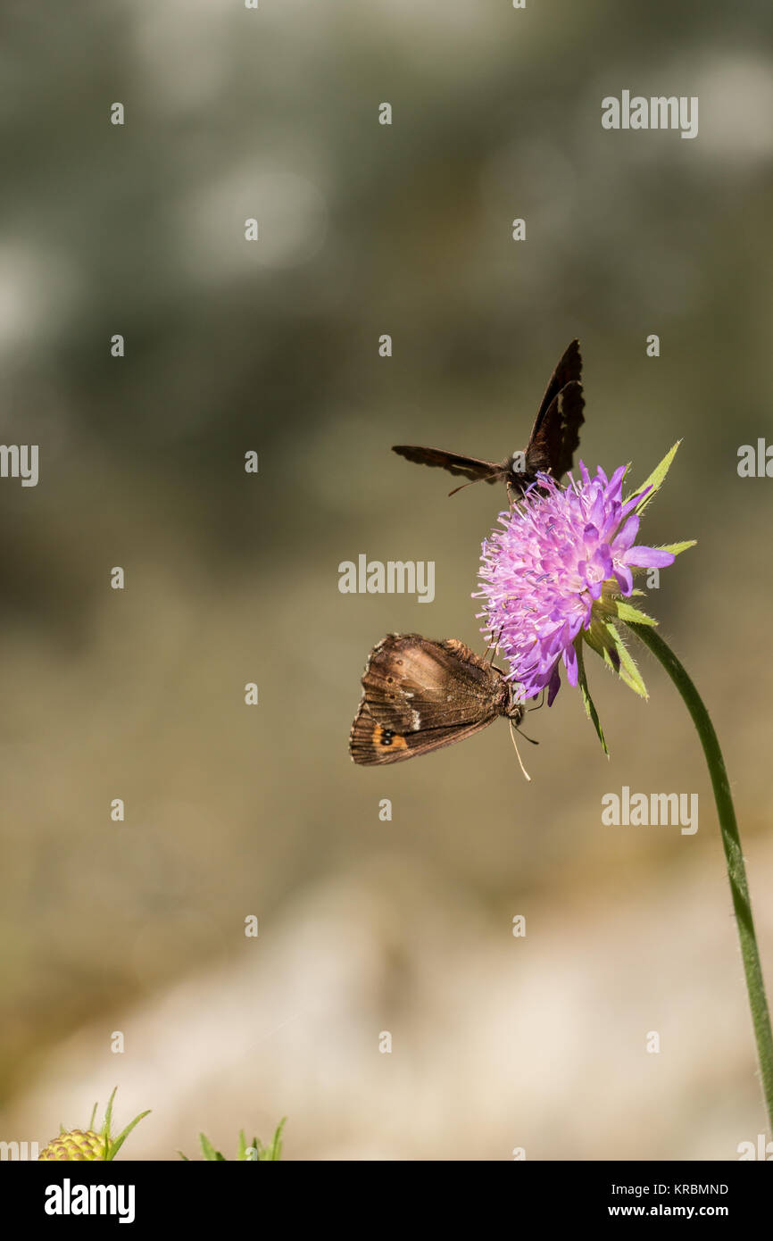 Butterflies on violet flower on the green meadow - Stock Image