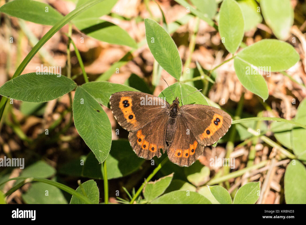Butterfly on green leaves on the ground of the forest - Stock Image