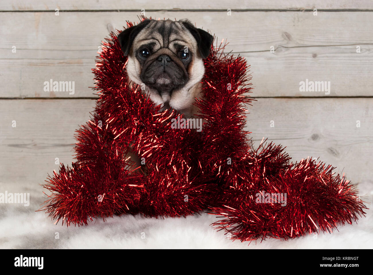 cute Christmas pug puppy dog, sitting down wrapped  in red tinsel on sheepskin, with vintage wooden background - Stock Image