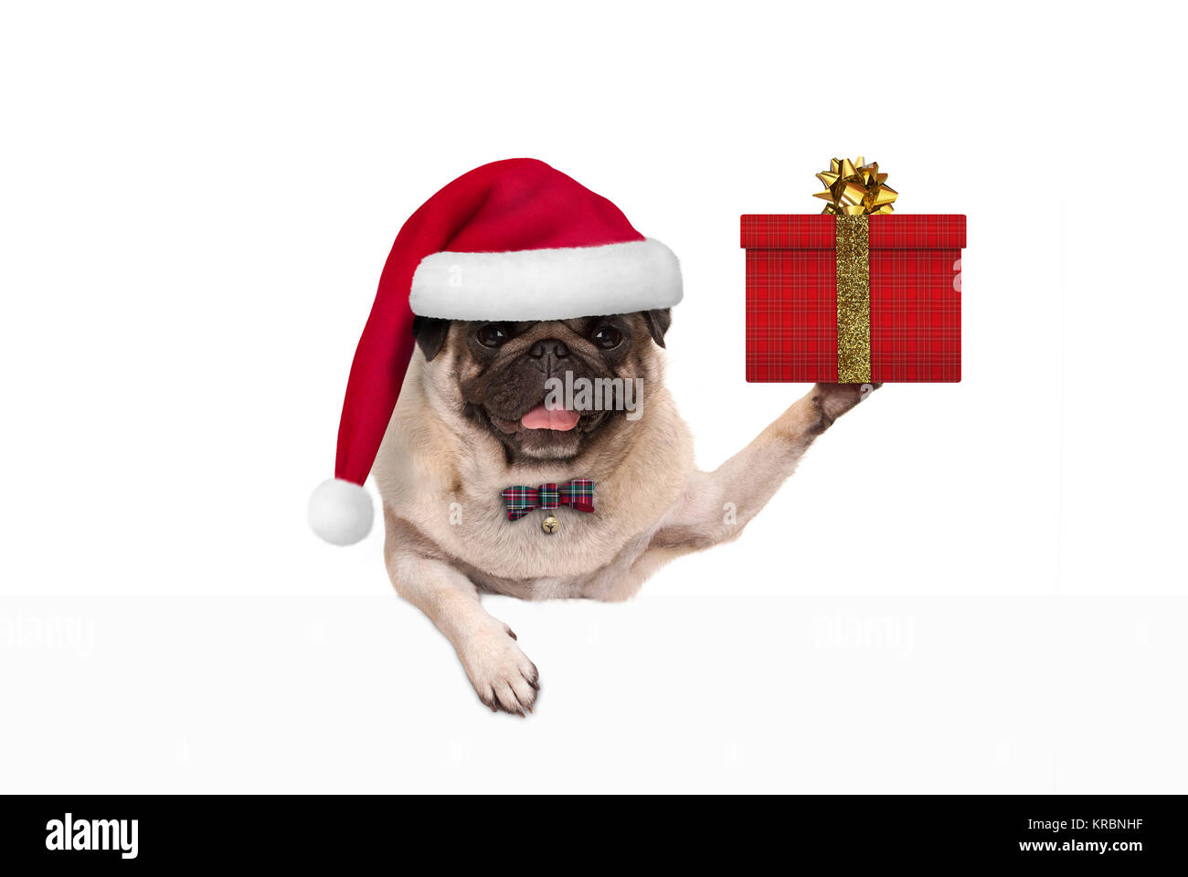 cute Christmas pug dog with santa claus hat, holding up present in gift box, hanging on white banner, isolated - Stock Image