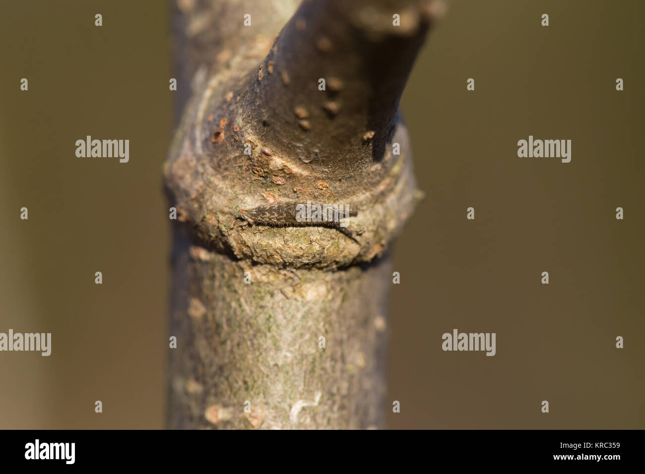 Hibernating lesser purple emperor larva - Stock Image