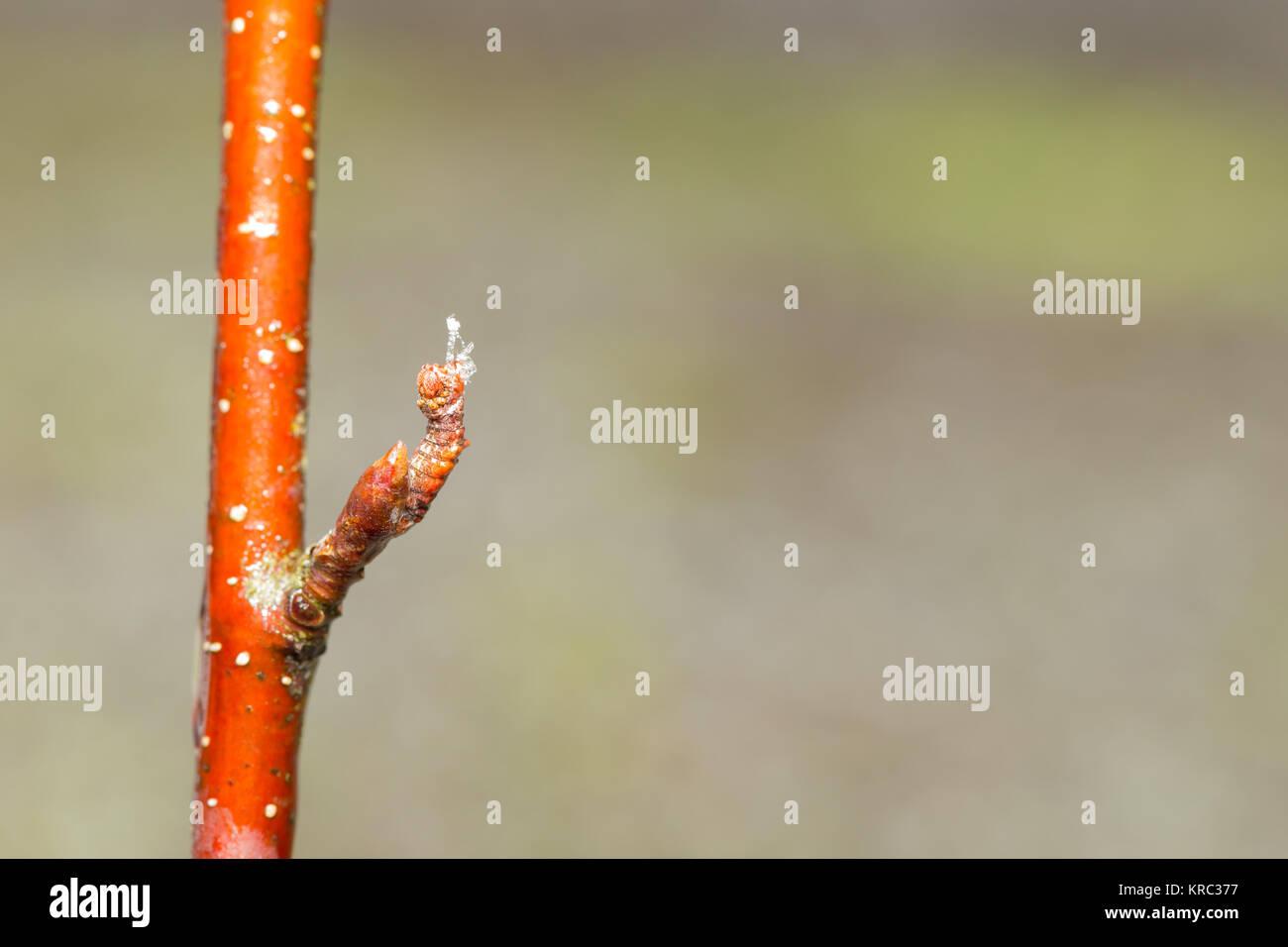 Hibernating large emerald moth larva - Stock Image