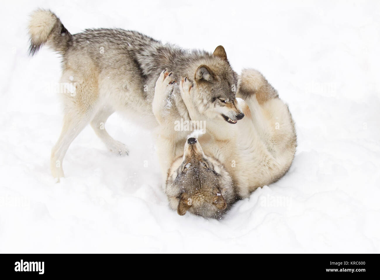 Timber wolves or Grey wolf (Canis lupus) playing in the winter snow in Canada - Stock Image