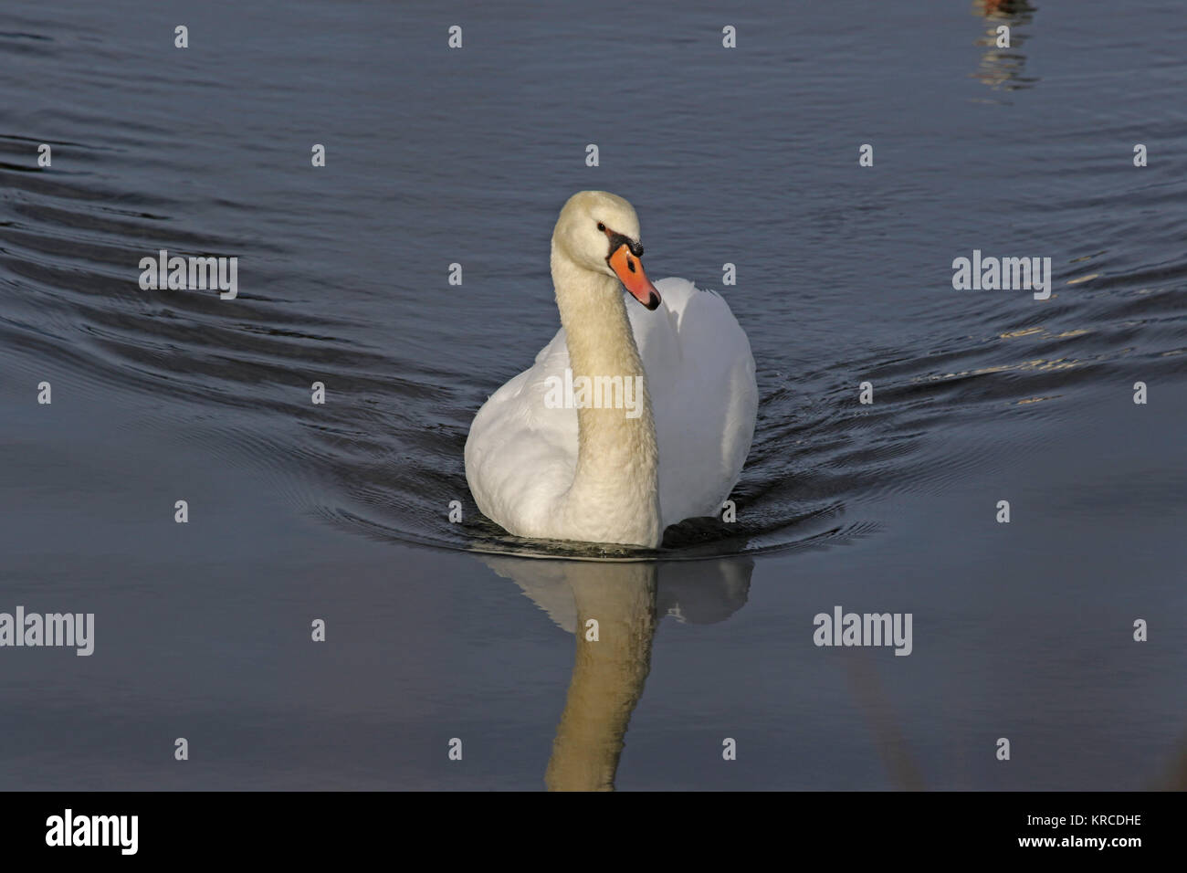 mute swan close up Latin name Cygnus olor family anatidae swimming in a lake in central Italy in December - Stock Image
