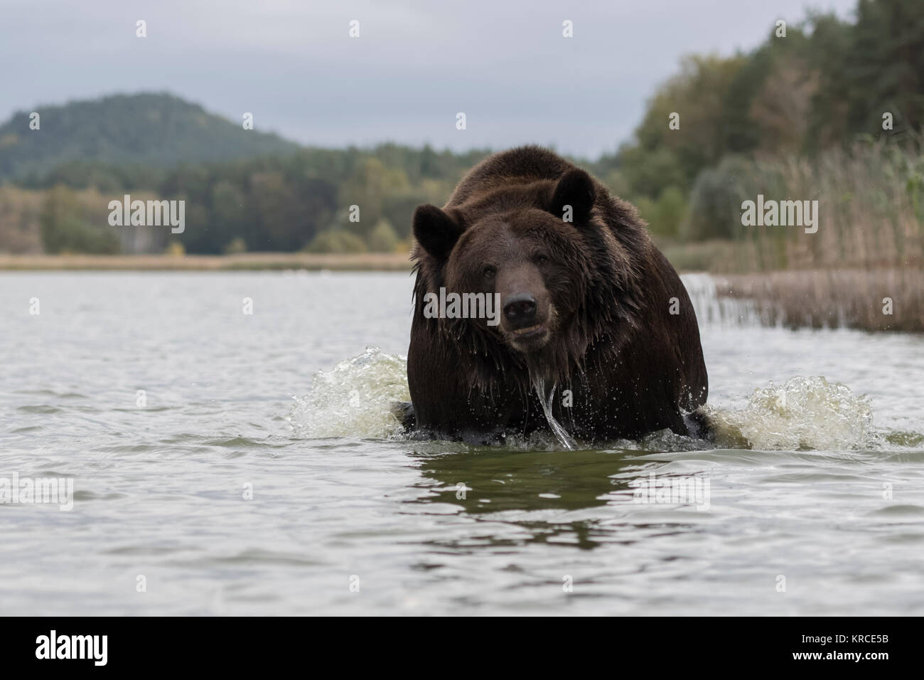 Brown Bear ( Ursus arctos ), powerful adult, running through water of a lake, seems to be agressive, belligerent, - Stock Image