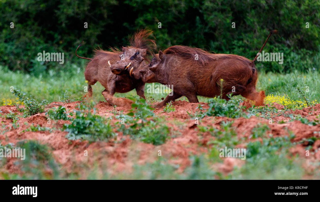 Warthog Set 3 of 4 - Stock Image