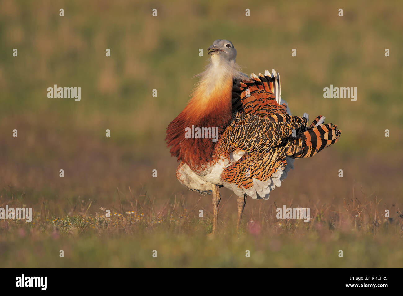 Great bustard - Stock Image