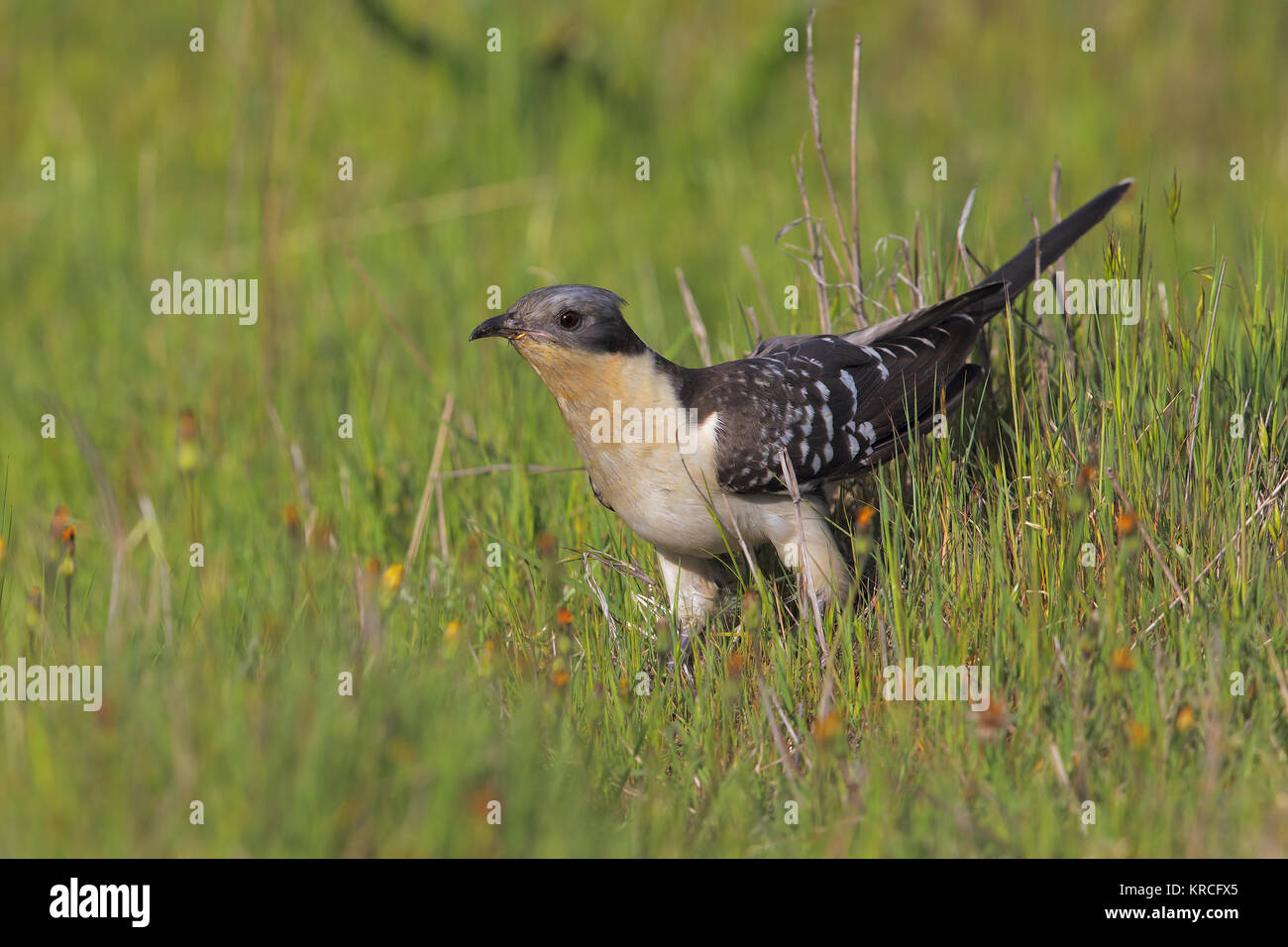 Great Spotted Cuckoo - Stock Image