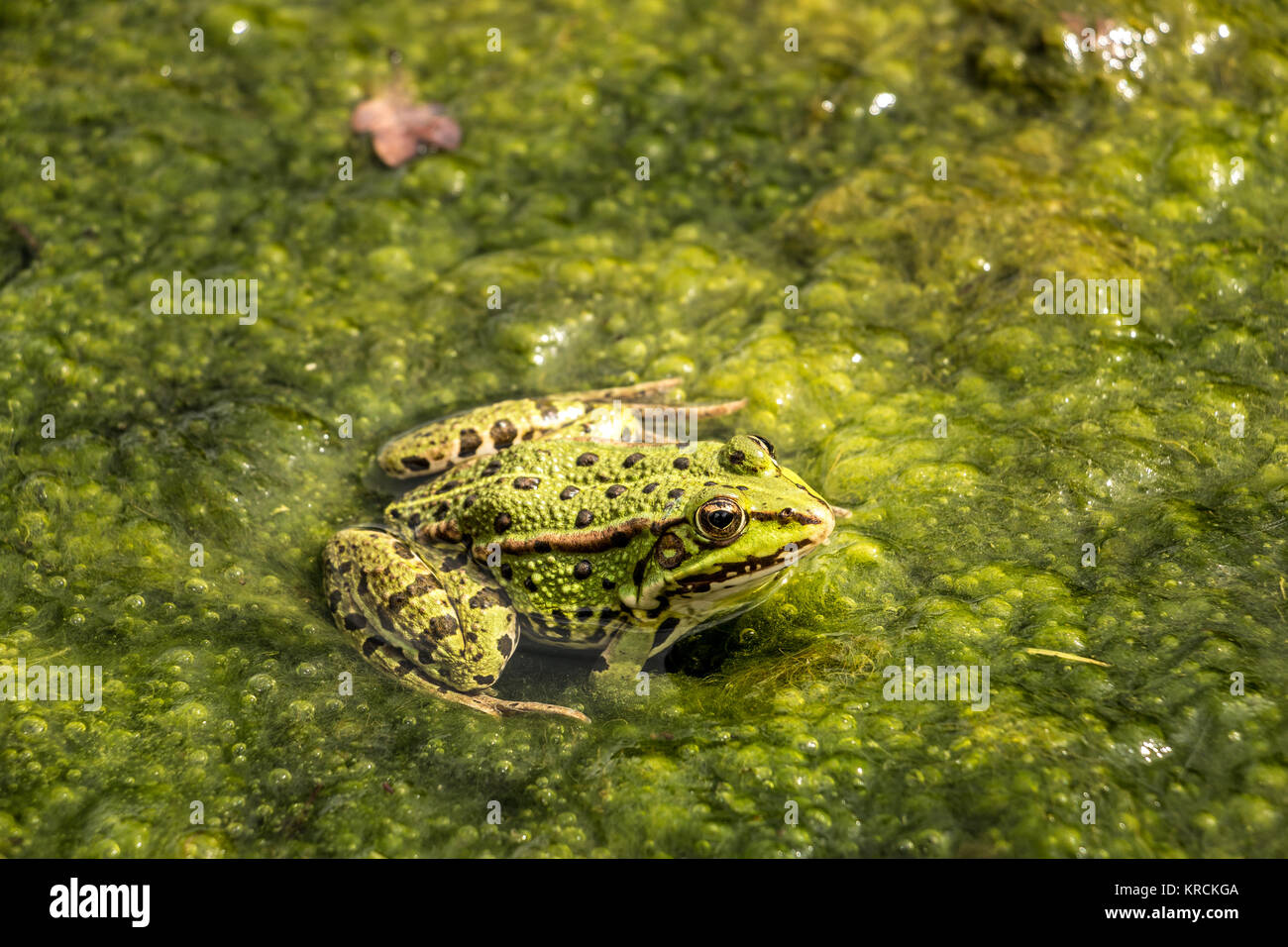 Green frog in the water full of frogspawn - Stock Image